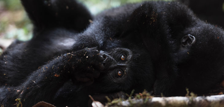 2 days Tracking Gorilla