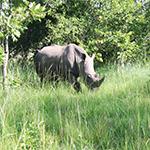 Zziwa Rhino