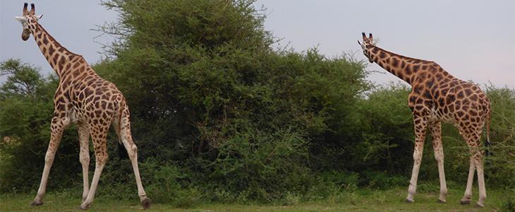 15 days Eco Safari Uganda