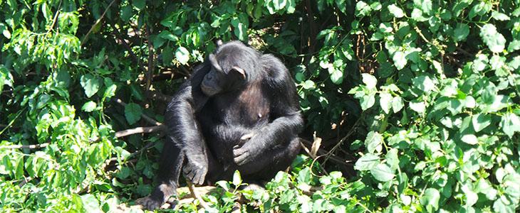 Chimpanzee tracking kyambura