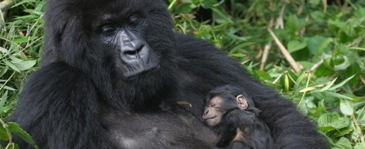Newly born gorilla