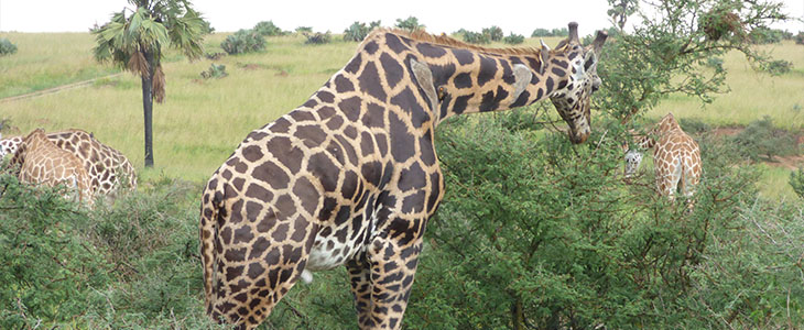 Giraffe translocation