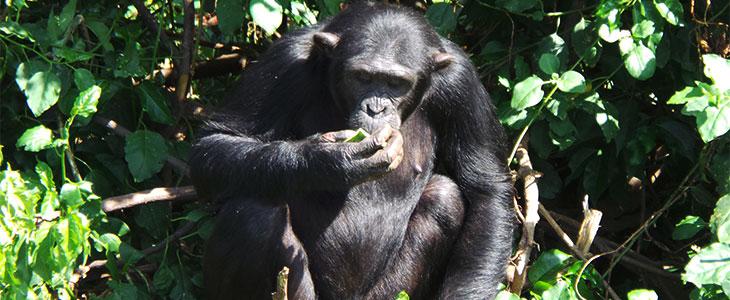 Ngamba Island chimpanzee