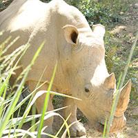 big Rhinos