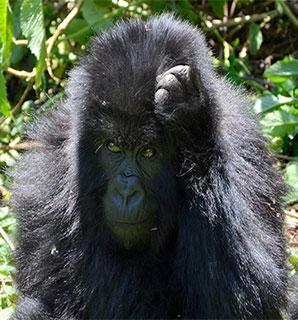 Gorilla in Bwindi Uganda