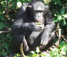 Chimpanzee Habituation Kibale