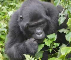 Rwanda Primtes