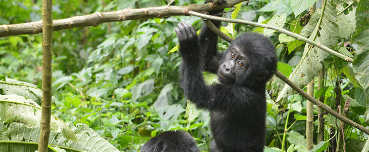 tracking gorilla