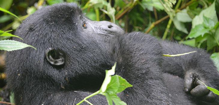 Double Gorilla