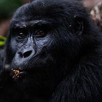 Gorilla Trekking expeditions