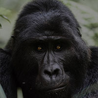 Gorilla family groups