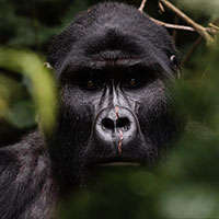 Gorilla Habituation Bwindi Forest