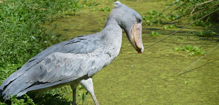 1 day Mabamba Swamp Birding