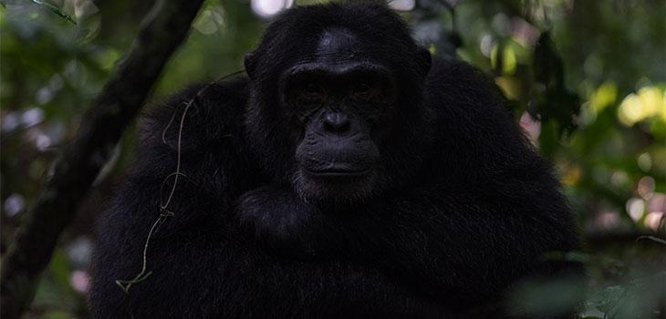 2 days Chimpanzee