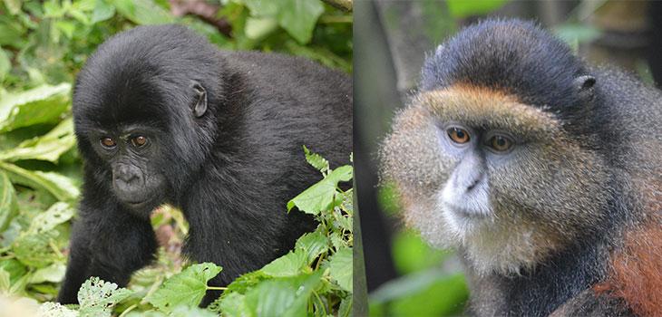 Gorilla trekking Rushaga