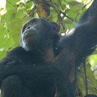 Chmpanzee tracking Uganda
