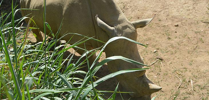 Pearl Safari