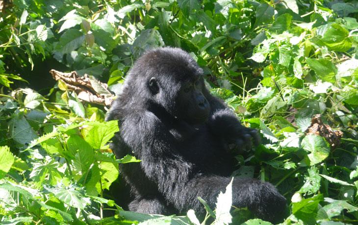 2 days Gorilla