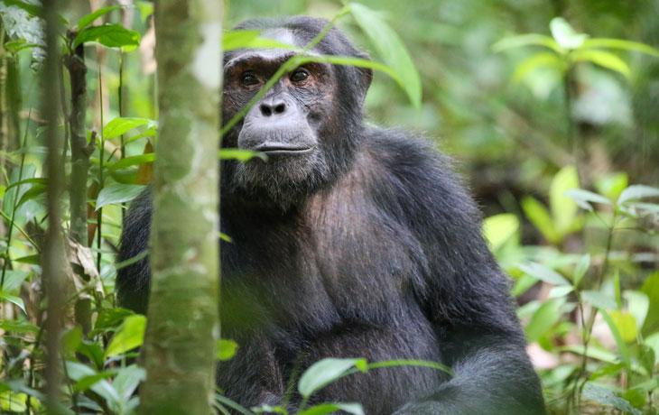 3 day Chimpanzee Habituation