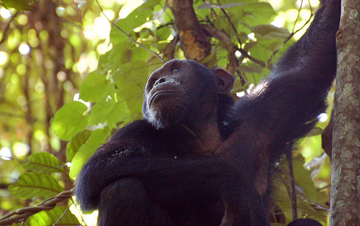 7 days Uganda Primates