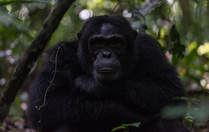 12 days Gorilla
