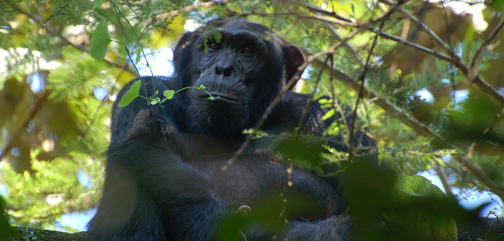 3 day Chimpanzee Habituation
