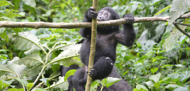 3 day Gorilla Habituation
