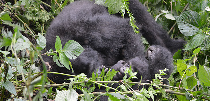 5 days Primates habituation