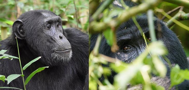 6 days Rwanda Primates