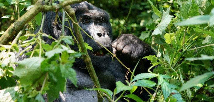 Budget Gorilla Tracking