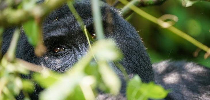 Budget-gorilla-trekking
