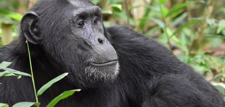 Chimpanzee Habituation experience
