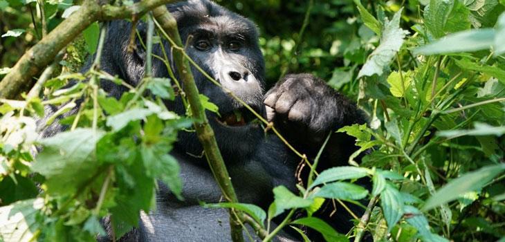 Gorilla trekking Buhoma