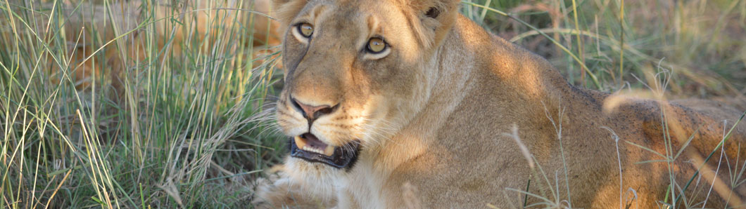 Lion in Queen Elizabeth National Park