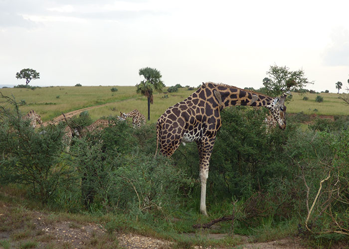 Giraffe in Murchison falls