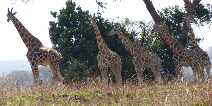Giraffe in lake Mburo