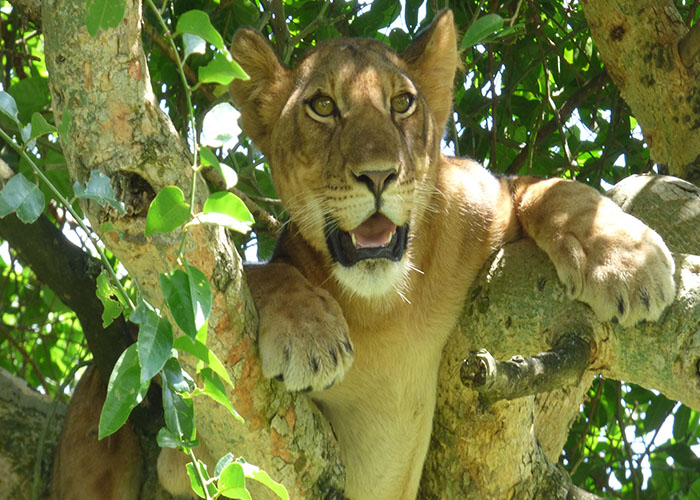 Lion in Ishasha