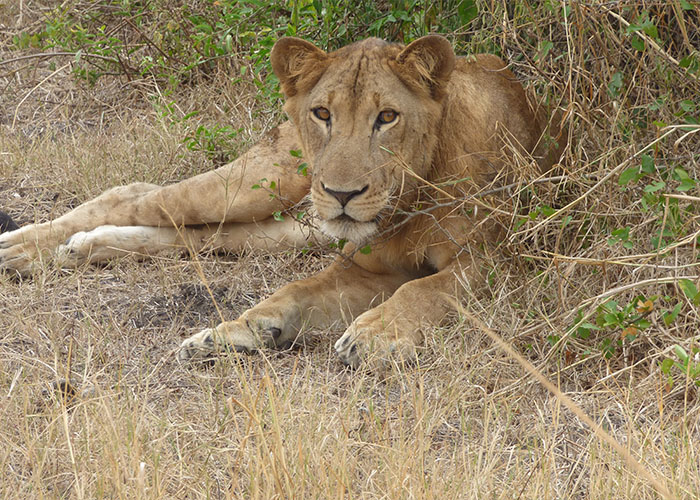 Lion in Murchison falls