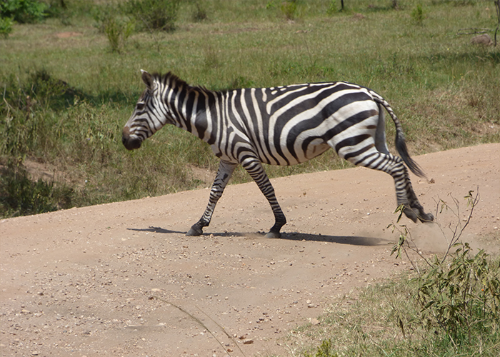 zebra at Lake Mburo