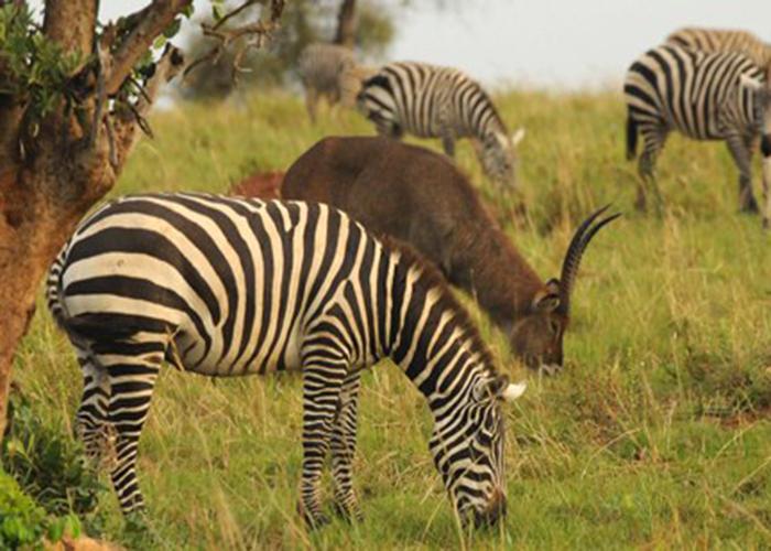 zebra Grazzing